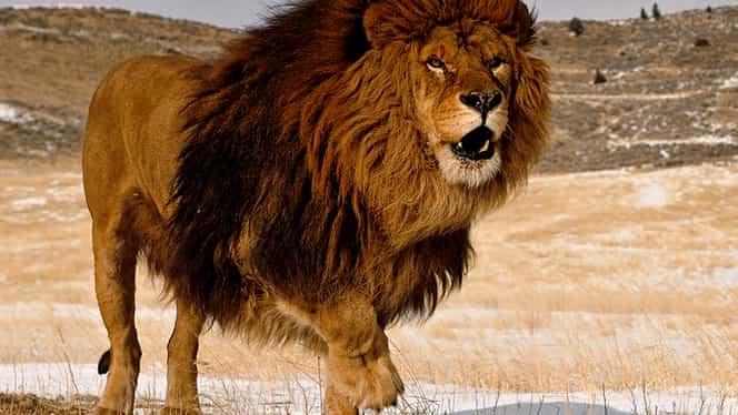 Sfatul Zilei de azi, 14 iunie. Leul uită că este regele junglei!