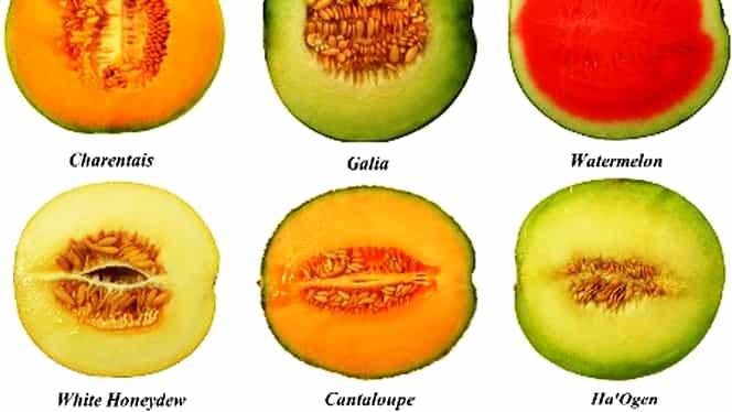 GALERIE FOTO. Cum să alegi cel mai DELICIOS şi PARFUMAT pepene galben! TRUCUL la care nu s-a gîndit nimeni