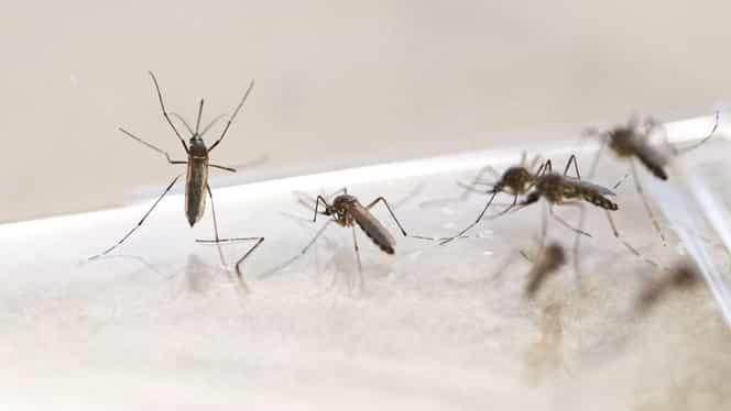 Cum scăpăm de țânțari. Cele mai ieftine și rapide soluții