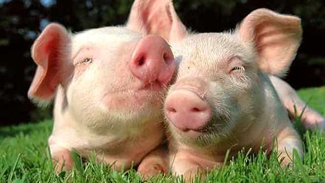 Imaginile care fac înconjurul lumii. Un porc s-a născut cu două capete și un ochi comun