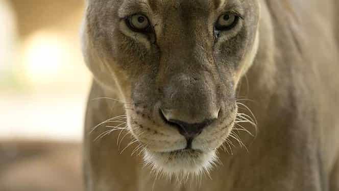 Un alt leu celebru a fost ucis în Africa. După Cecil, leoaica Bibi a fost otrăvită
