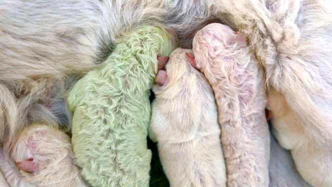 Fistic, cel mai drăgălaş câine din lume. Culoarea verde i-a adus faima